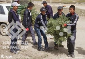 Саженцы, выделенные для этого лесхозом района, выкопали и транспортировали при финансовой поддержке «Кумтор Оперейтинг Компани».