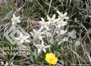 Edelweiss in the mine Kumtor