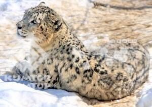Kumtor welcomes Global Snow Leopard Conservation Forum in Kyrgyz Republic